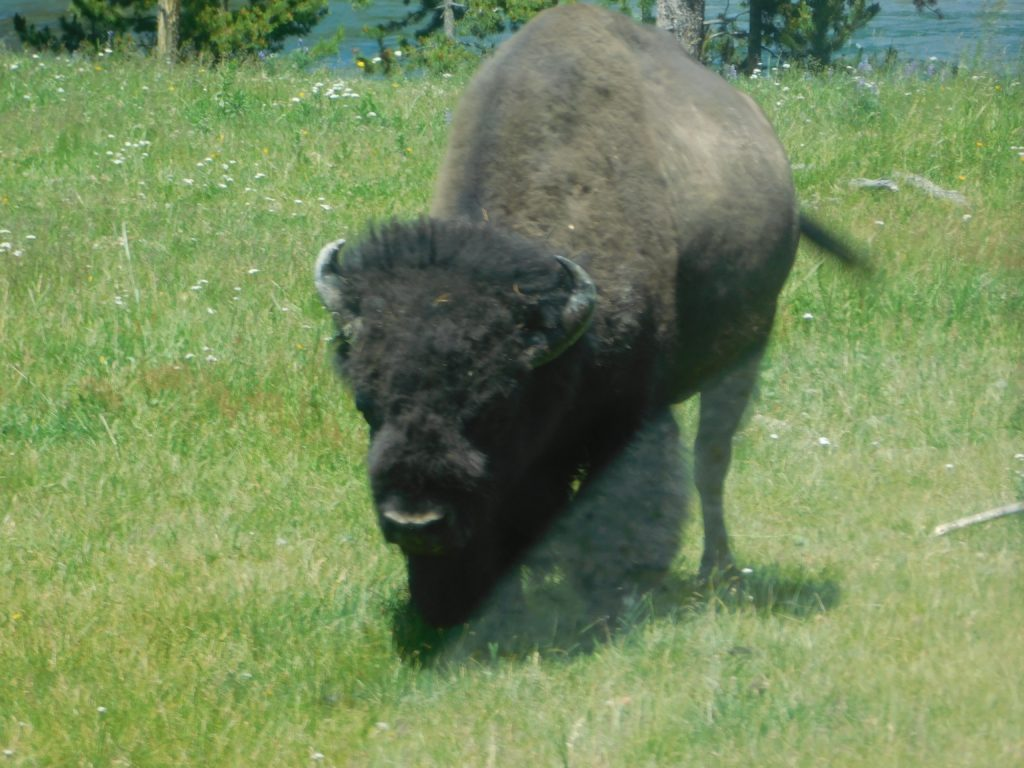 Bison_Yellowstone